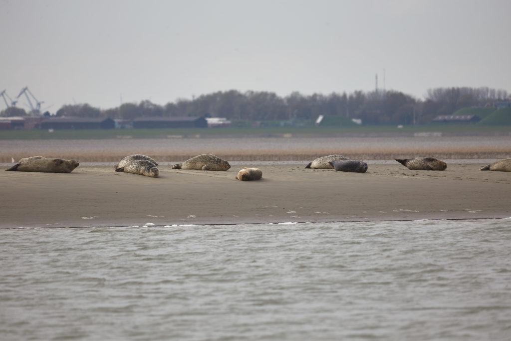 Wattwanderung Seehundbank Wattschnack
